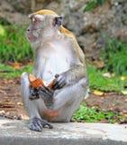 Affe mit Stück der Kokosnuss Lizenzfreie Stockbilder