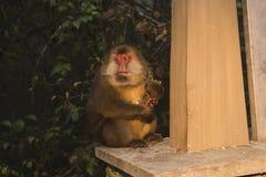 Affe mit Traube Lizenzfreie Stockbilder