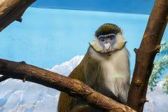 Affe mit traurigen Augen auf einem Baumast Lizenzfreies Stockbild