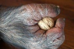 Affe mit Walnuss Lizenzfreie Stockbilder