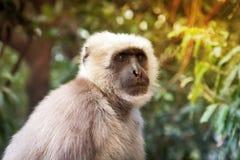 Affe mit weißem Pelz Stockbild