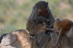 Affe-Mutter, die ihr Baby tröstet Lizenzfreie Stockbilder