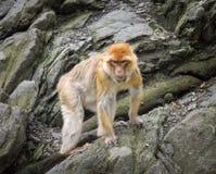 Affe nah oben im natürlichen Hintergrund Lizenzfreies Stockfoto