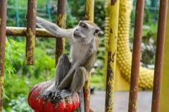 Affe nahe der Höhle in Malaysia Lizenzfreie Stockbilder