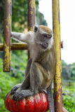 Affe nahe der Höhle in Malaysia Stockbild