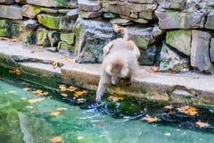 Affe nahe Wasser Lizenzfreies Stockfoto