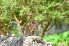 Affe, natürlicher Hintergrund, Lizenzfreie Stockfotos
