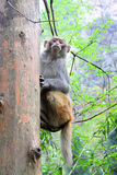 Affe in nationalem geologischem Park Zhangjiajie Stockfotografie