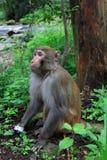 Affe in nationalem geologischem Park Zhangjiajie Stockfoto