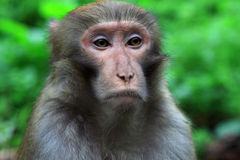 Affe in nationalem geologischem Park Zhangjiajie Lizenzfreies Stockbild