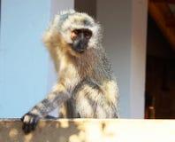Affe an Nationalpark Pilanesberg, Südafrika Lizenzfreie Stockbilder