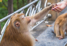 Affe nehmen etwas Lebensmittel von der Hand Stockfoto