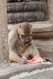 Affe in Nepal Stockbild