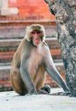 Affe, Nepal Lizenzfreies Stockfoto