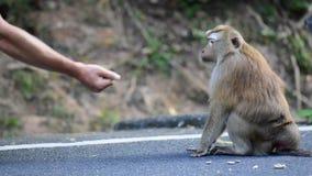 Affe nimmt eine Nuss von den Händen eines Mannes stock video footage