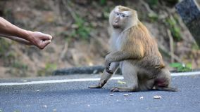 Affe nimmt eine Nuss von den Händen eines Mannes stock footage