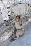 Affe oder Affe in Gibraltar Stockbild