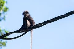 Affe oder düsterer Langur, die auf Draht im Regenwald sitzen Lizenzfreie Stockfotografie