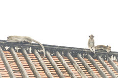 Affe oder langschwänziger Makakenaffe Stockfoto