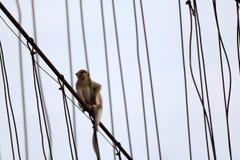 Affe oder Makaken, die auf der alten Hängebrücke mit gree sitzen Stockfoto