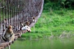 Affe oder Makaken, die auf der alten Hängebrücke mit gree sitzen Lizenzfreie Stockbilder