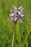 Affe-Orchidee Lizenzfreie Stockfotografie