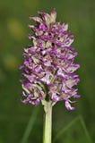 Affe-Orchideen-Kreuzung Damen-x Stockfotografie