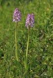 Affe-Orchideen-Kreuzung Damen-x Lizenzfreie Stockfotos