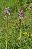 Affe-Orchideen-Kreuzung Damen-x Stockbild