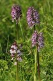 Affe-Orchideen-Kreuzungen Damen-x Lizenzfreie Stockfotos