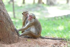 Affe-Paare Lizenzfreies Stockfoto