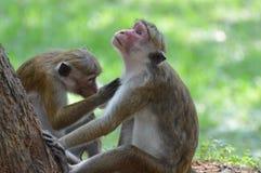 Affe-Paare Lizenzfreie Stockbilder