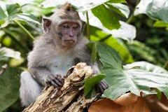 Affe-Porträt der wild lebenden Tiere Stockbilder