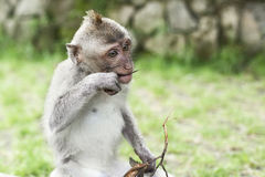 Affe-Porträt der wild lebenden Tiere Stockbild