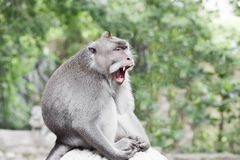 Affe-Porträt der wild lebenden Tiere Lizenzfreies Stockfoto