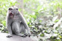 Affe-Porträt der wild lebenden Tiere Lizenzfreie Stockfotos
