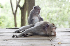 Affe-Porträt der wild lebenden Tiere Lizenzfreie Stockbilder