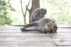 Affe-Porträt der wild lebenden Tiere Stockfoto
