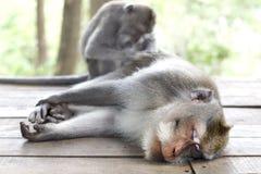 Affe-Porträt der wild lebenden Tiere Lizenzfreies Stockbild