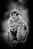 Affe-Porträt der wild lebenden Tiere in einem Park Lizenzfreies Stockbild