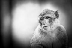 Affe-Porträt der wild lebenden Tiere in einem Park Stockbild