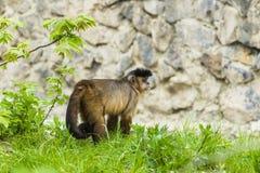Affe-Rhesusfaktormakaken, der den Schattenbaum genießt Lizenzfreie Stockfotografie