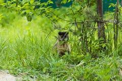 Affe-Rhesusfaktormakaken, der den Schattenbaum genießt Stockbild