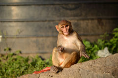 Affe, Rhesusfaktormakaken (Macaca mulatta) Stockfotografie