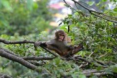 Affe, Rhesusfaktormakaken (Macaca mulatta) Lizenzfreie Stockfotografie