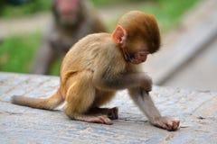 Affe, Rhesusfaktormakaken (Macaca mulatta) Lizenzfreie Stockbilder