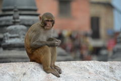 Affe, Rhesusfaktormakaken an Swayambhunath-Tempel. Nepal Stockfoto