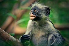 Affe roter Colobus, Überraschung, endemisch Stockfotos