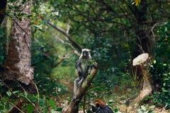 Affe roter Colobus im dichten tropischen Wald Lizenzfreies Stockfoto