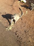 Affe Südafrikas Kruger Lizenzfreies Stockbild
